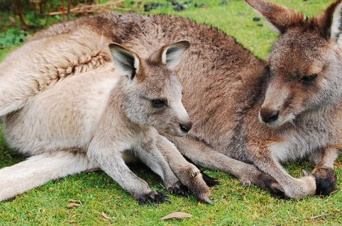 10 Fun Facts About Kangaroos You May Not Know