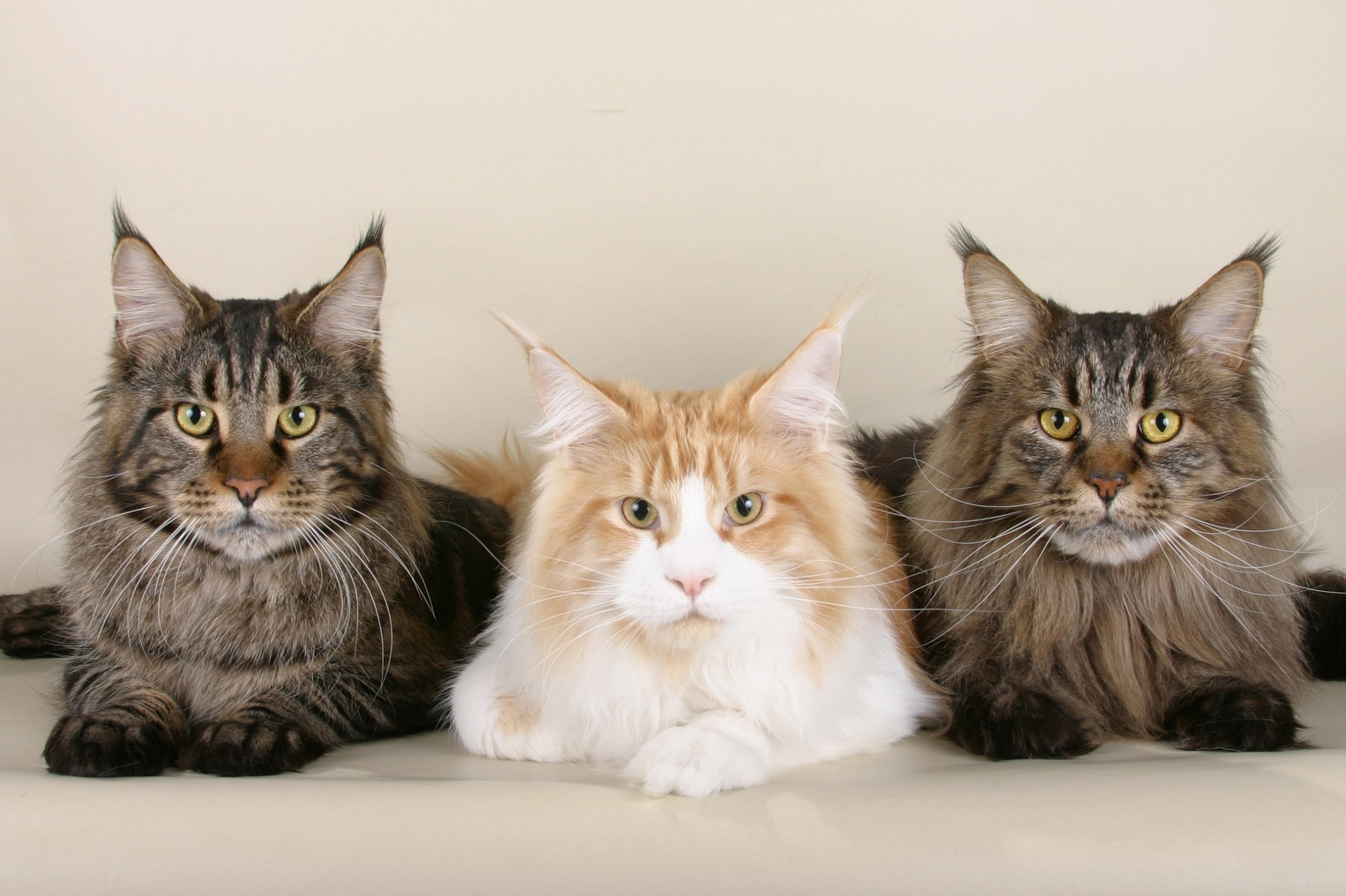 Maine Coon Cats Meet Ludo Longest Cat In The World Animal Bliss