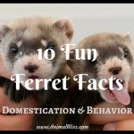 10 Fun Ferret Facts – Their Domestication and Behavior