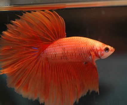 Betta Fish Tail Types – Which Betta Fish Type Do You Have?