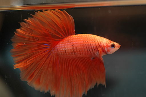 Betta Fish Tail Types - Do you know which type you have?