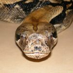 Boa Constrictors as Therapy Animals