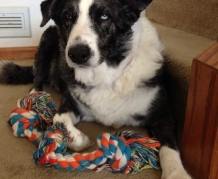 Tips for Life with a Border Collie – Dog Breeds