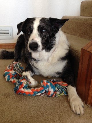 Tips for Life with a Border Collie