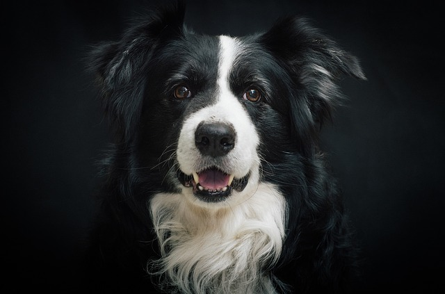 The Border Collie dog breed infographic I present is here is an introduction to a dog considered the most intelligent of all dog breeds.