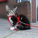 Teach Your Cat to Walk on a Leash