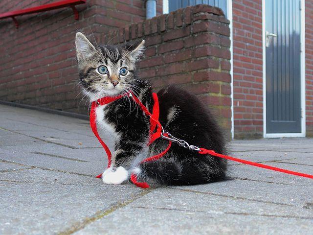 lost indoor cat behaviour