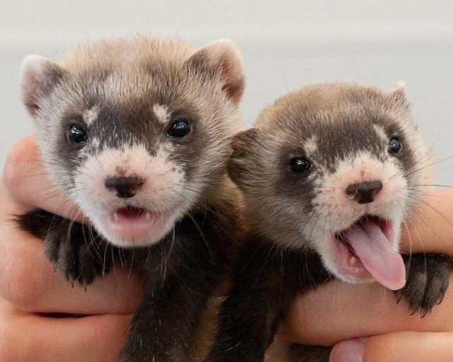 10 Fun Ferret Facts - Domestication and Behavior