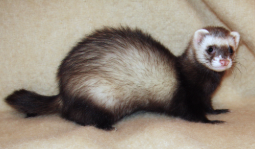 10 Fun Ferret Facts - Domestication and Behavior