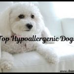 A Short List of Top Hypoallergenic Dogs: Dog Breeds