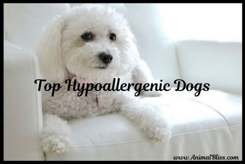 Short List of Hypoallergenic Dogs