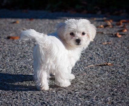 8 Adorable Toy Dog Breeds to Brighten Your Day