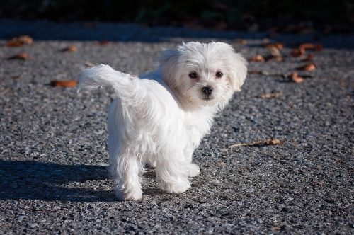 8 Toy Dog Breeds to Brighten Your Day