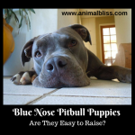 Blue Nose Pitbull Puppies – Are They Easy to Raise?