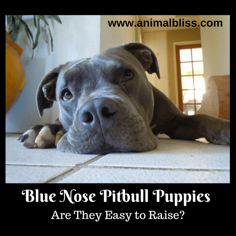 The Blue Nose Pitbull is a favorite where breeds are concerned, but one question remains: are the puppies easy to raise?