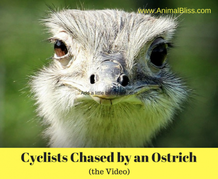 Cyclists are Chased by an Ostrich in Africa [Video] – Priceless
