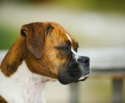 Top 5 Brindle Dog Breeds – Preview and Pictures