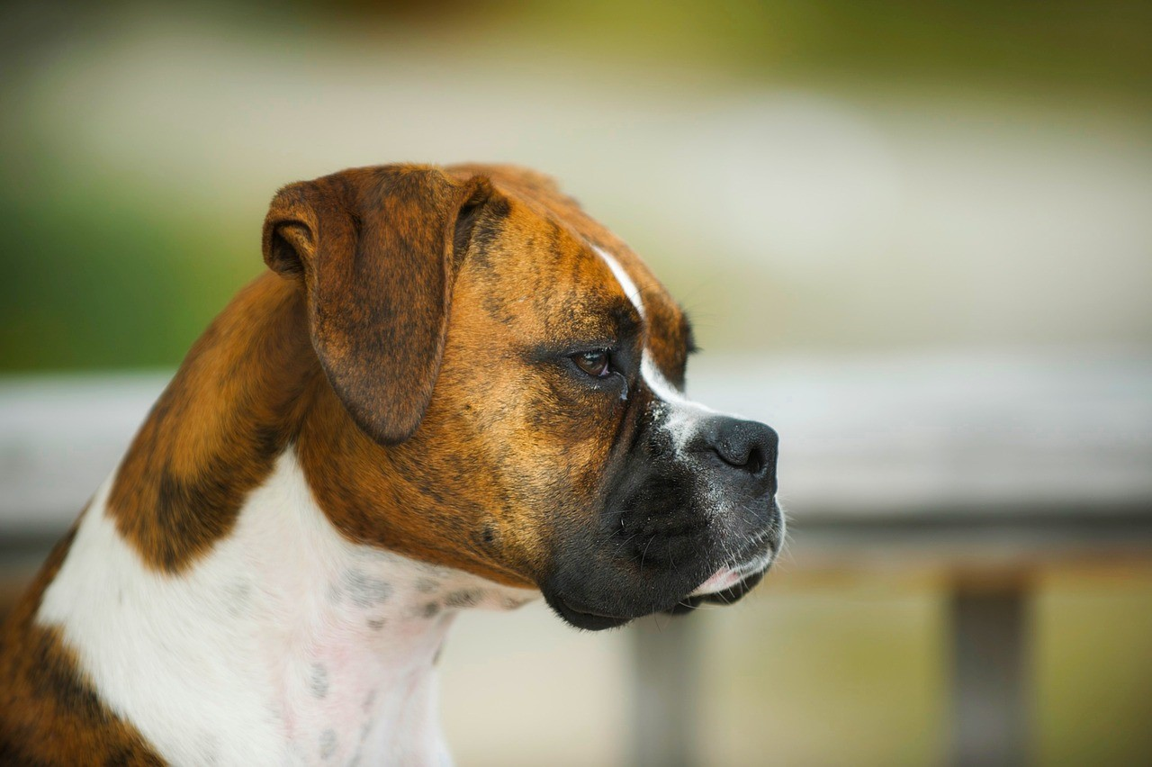 What Dog Breeds Have Brindle Coats