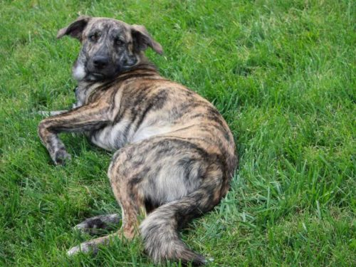 Here is a list of the top most popular Brindle Dog Breeds.