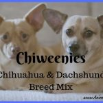 Chiweenies: Chihuahua and Dachshund Breed Mix – Popular Dog Breeds