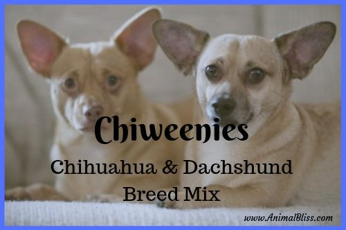 Chiweenies : Chihuahua and Dachshund Mix