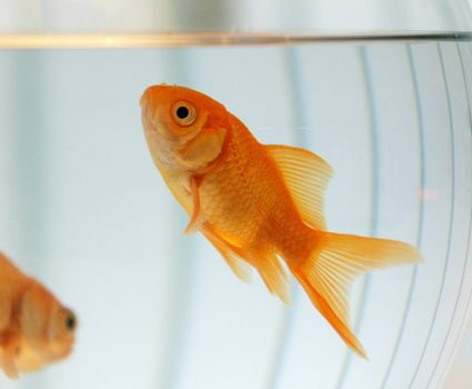 Healthy Goldfish in 7 Simple Steps : Fish-Keeping 101
