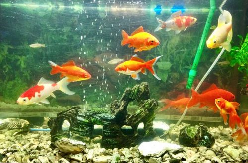Healthy goldfish require a particular environment to thrive.