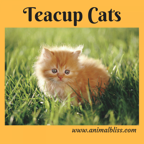 Teacup Cats - Teacup cats are one of the world's smallest specially-bred cats.