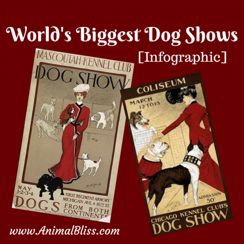 The World's Biggest Dog Shows infographic profiles world-famous shows and gives pointers for potential exhibitors entering their dog in a show.