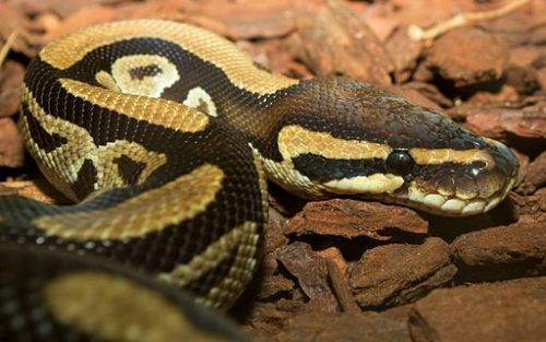 4 of the Best Reptiles for Beginners - Ball Python - www. animalbliss.com - @animal_bliss