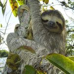 Fun Facts About Sloths That Will Make Fall in Love with Them