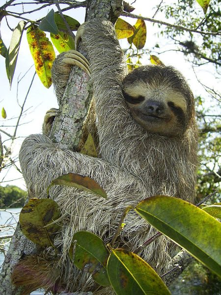 One of the cutest, most lovable animals known, these amazing facts about sloths serve to demonstrate their comical and unusual features.