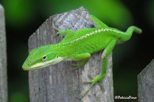 4 of the Best Reptiles for Beginners - Green Anole - www.animalbliss.com - @animal_bliss