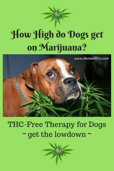 How High do Dogs get on Marijuana? THC-Free Therapy for Dogs