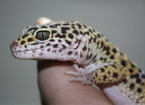 4 of the Best Reptiles for Beginners - www.AnimalBliss.com