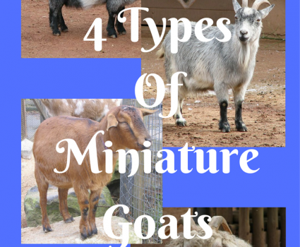 4 Types Of Miniature Goats You Would Want As A Pet