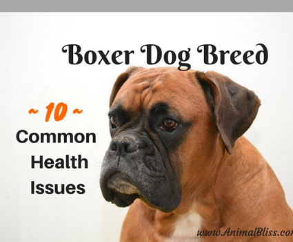 Boxer Dog Breed Common Diseases, 10 Common Boxer Health Issues