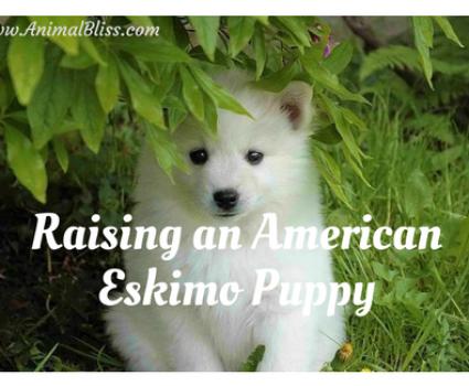Raising an American Eskimo Puppy, Dog Breed Training