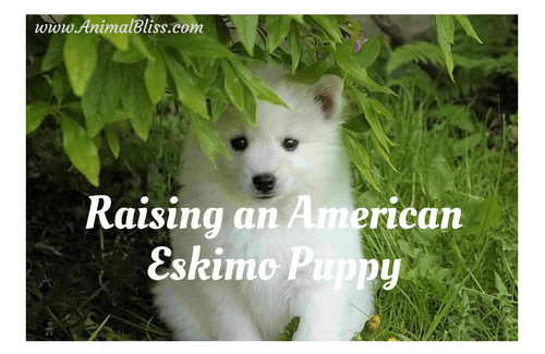 Raising an American Eskimo Puppy, Dog Breed Training
