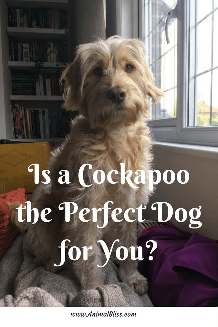 Is a Cockapoo the perfect dog for you? Character traits of this Cocker Spaniel and Poodle mix can help you decide if this is the one for you.
