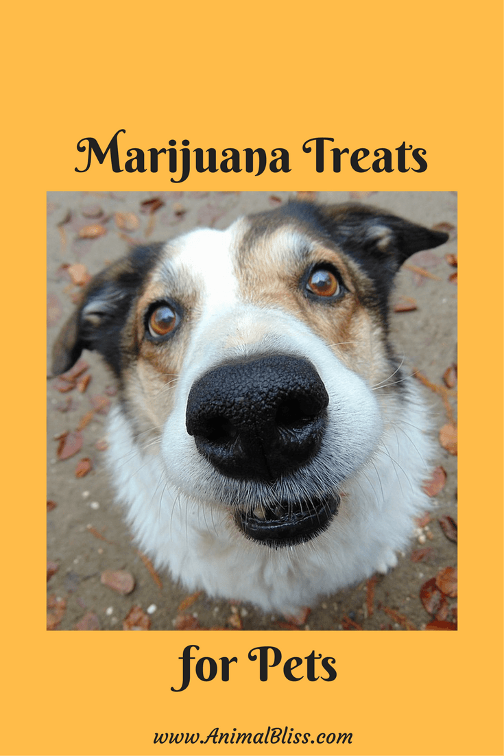 Marijuana Treats for Pets - Benefits of CBD for Your Pet