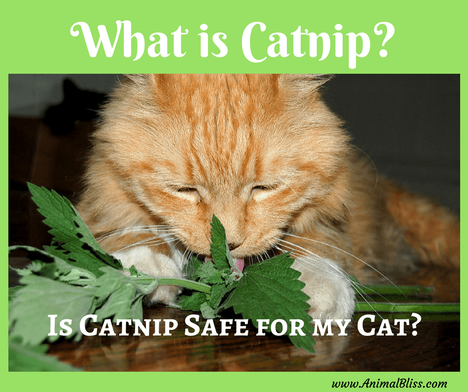 "Have you ever asked yourself, ""Is catnip safe for my cat?"" We love our cats and many of us turn to catnip as a special treat. But what is catnip?"