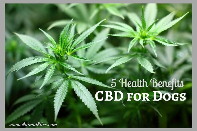 More folks are turning to cannabidiol for their pets. We outline five important health benefits of CBC for dogs in particular. Please share.