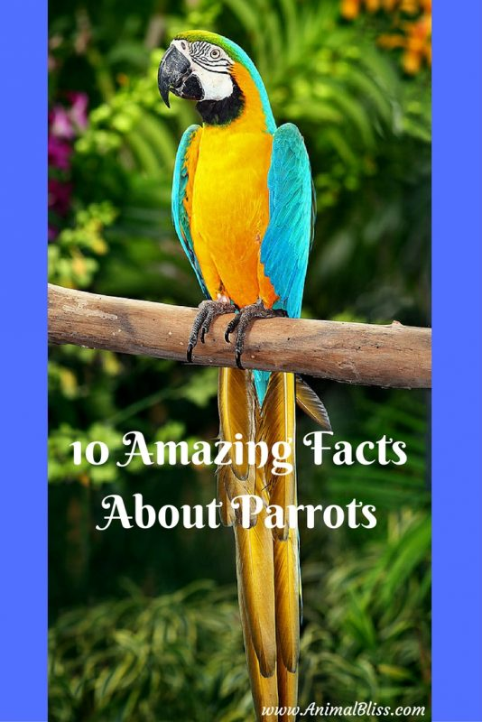 Check out these 10 amazing facts about parrots to give you a better understanding of these complex, social, remarkable and brilliant birds.
