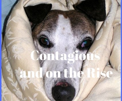 Canine Influenza, or Dog Flu, is a highly contagious disease that is on the rise in the United States. Infections can occur any time of year. Read this to learn more about signs and symptoms, prevention, treatment, advice, and prognoses.