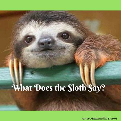 What does the sloth say? Hear the uniquely adorable sounds of the sloth in this nothing but cuteness video. The sloth says the cutest things.