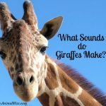 What Sounds do Giraffes Make? Do They Hum at Night?