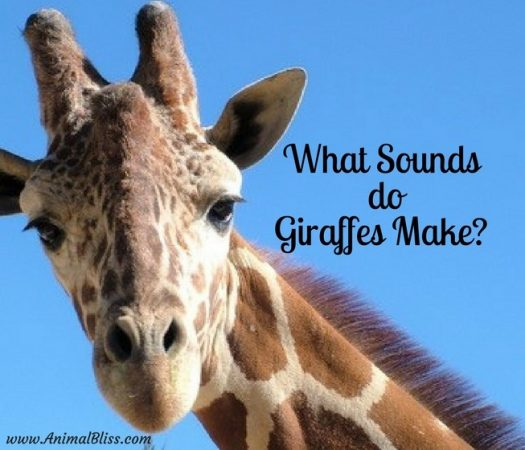 What sounds do giraffes make? Giraffes make quite a few sounds that are inaudible to humans. Did you know giraffes hum, but only at night?