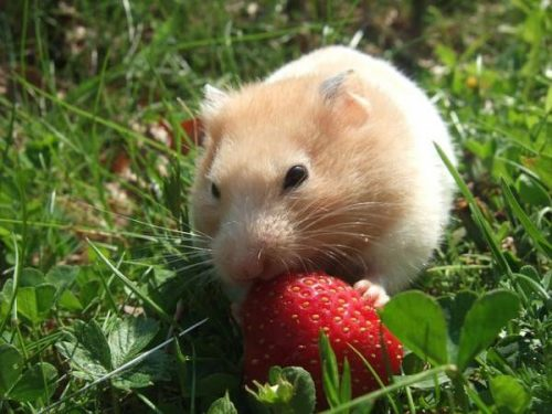 A Beginner's Guide to Owning a Hamster