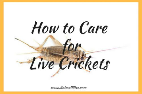 How to Care for Live Crickets